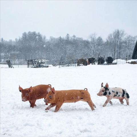 true-love-pigs