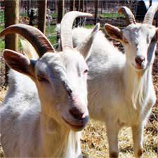Goats_Home_Box