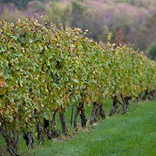 Vineyard_Growth_Bubble